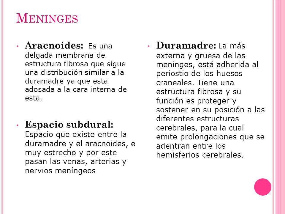 M ENINGES Aracnoides: Es una delgada membrana de estructura fibrosa que sigue una distribución similar a la duramadre ya que esta adosada a la cara in