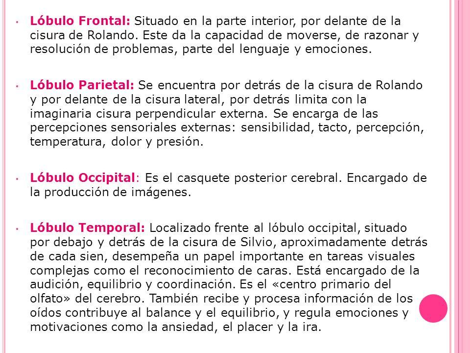 Lóbulo Frontal: Situado en la parte interior, por delante de la cisura de Rolando. Este da la capacidad de moverse, de razonar y resolución de problem
