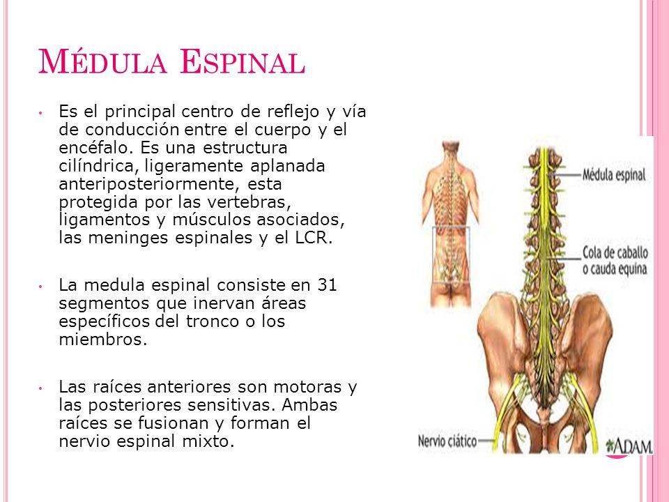 M ÉDULA E SPINAL Es el principal centro de reflejo y vía de conducción entre el cuerpo y el encéfalo. Es una estructura cilíndrica, ligeramente aplana