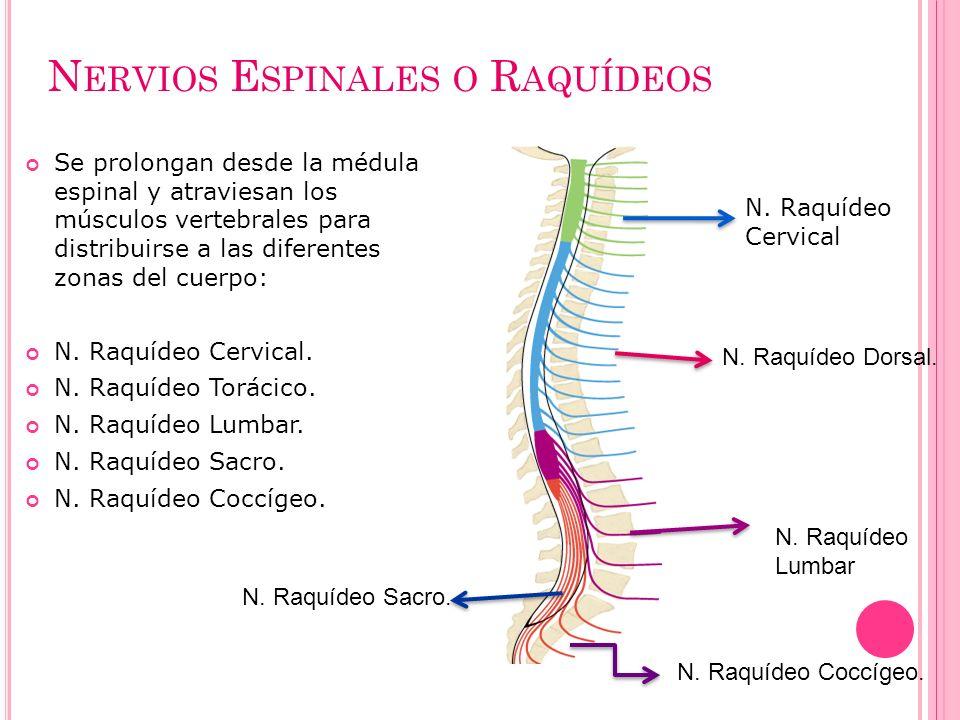 N ERVIOS E SPINALES O R AQUÍDEOS Se prolongan desde la médula espinal y atraviesan los músculos vertebrales para distribuirse a las diferentes zonas d