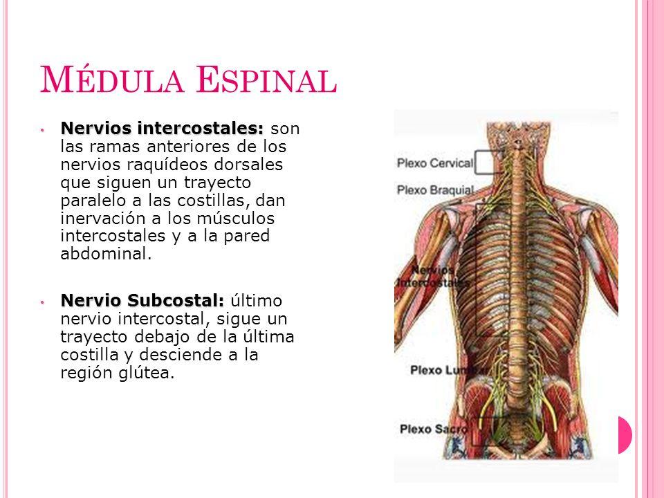 M ÉDULA E SPINAL Nervios intercostales: Nervios intercostales: son las ramas anteriores de los nervios raquídeos dorsales que siguen un trayecto paral