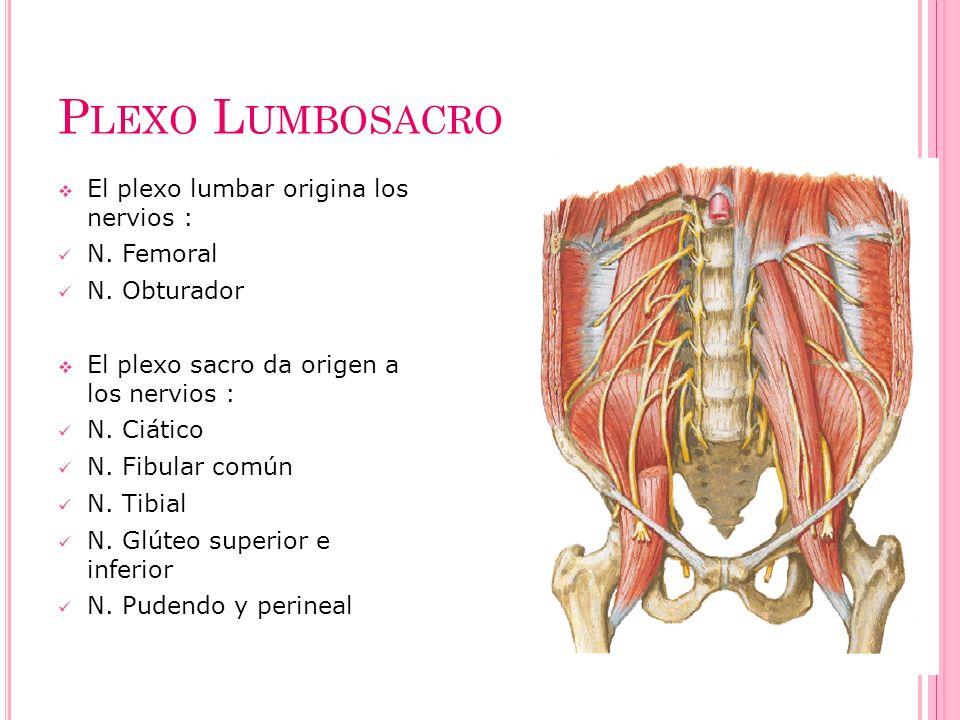 P LEXO L UMBOSACRO El plexo lumbar origina los nervios : N. Femoral N. Obturador El plexo sacro da origen a los nervios : N. Ciático N. Fibular común