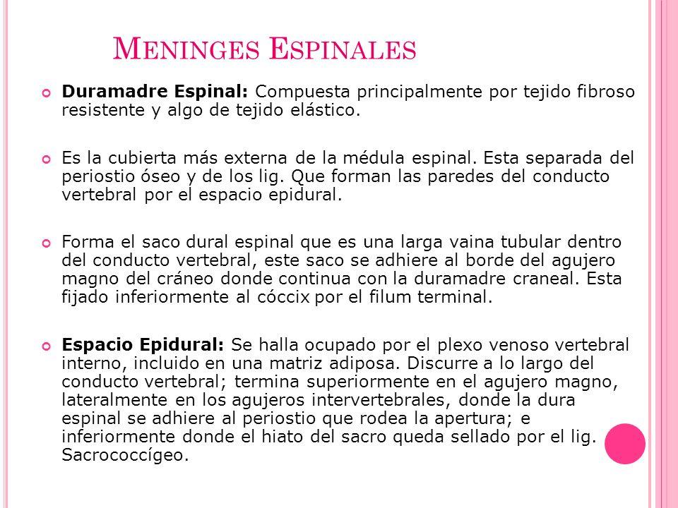 M ENINGES E SPINALES Duramadre Espinal: Compuesta principalmente por tejido fibroso resistente y algo de tejido elástico. Es la cubierta más externa d