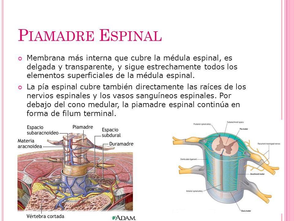 P IAMADRE E SPINAL Membrana más interna que cubre la médula espinal, es delgada y transparente, y sigue estrechamente todos los elementos superficiale