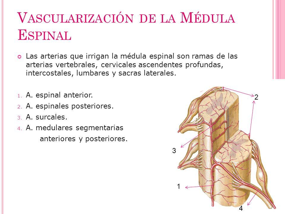 V ASCULARIZACIÓN DE LA M ÉDULA E SPINAL Las arterias que irrigan la médula espinal son ramas de las arterias vertebrales, cervicales ascendentes profu