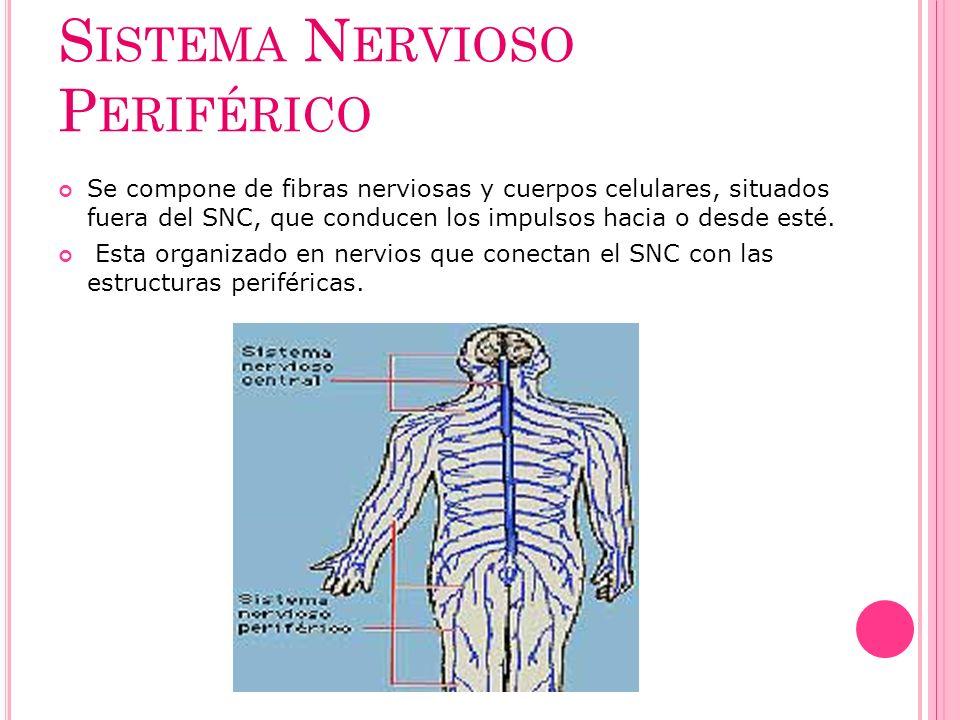 S ISTEMA N ERVIOSO P ERIFÉRICO Se compone de fibras nerviosas y cuerpos celulares, situados fuera del SNC, que conducen los impulsos hacia o desde est