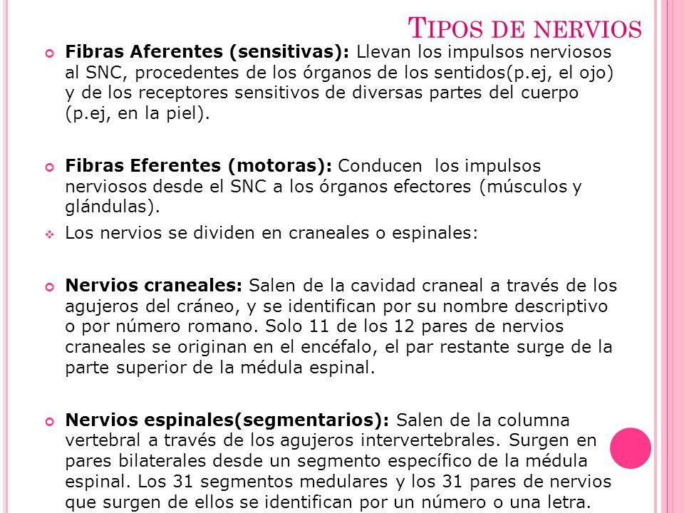 T IPOS DE NERVIOS Fibras Aferentes (sensitivas): Llevan los impulsos nerviosos al SNC, procedentes de los órganos de los sentidos(p.ej, el ojo) y de l