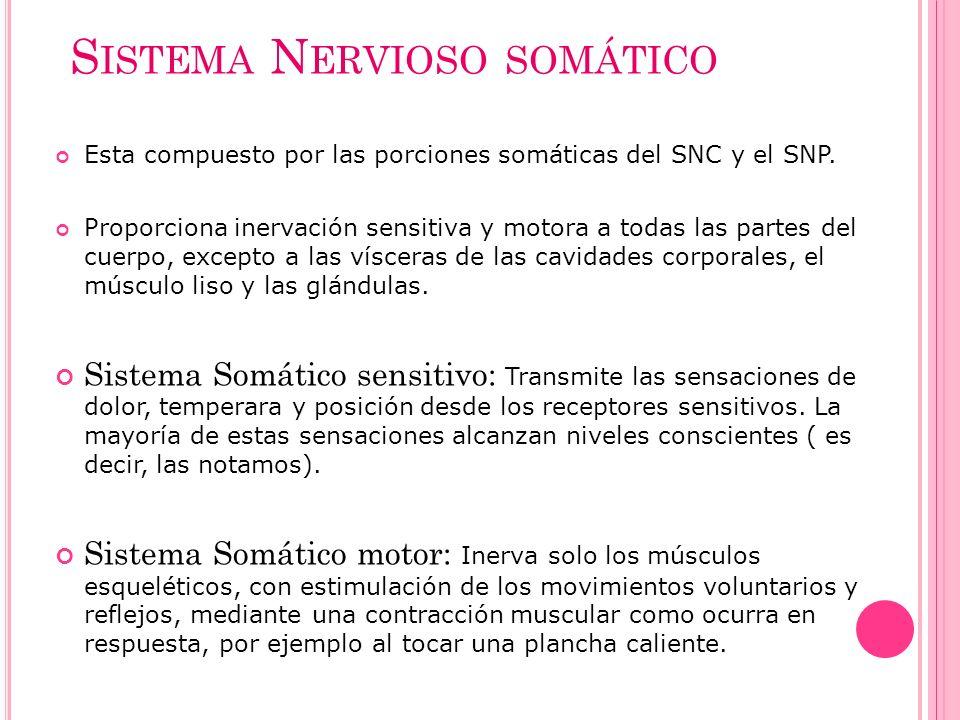 S ISTEMA N ERVIOSO SOMÁTICO Esta compuesto por las porciones somáticas del SNC y el SNP. Proporciona inervación sensitiva y motora a todas las partes