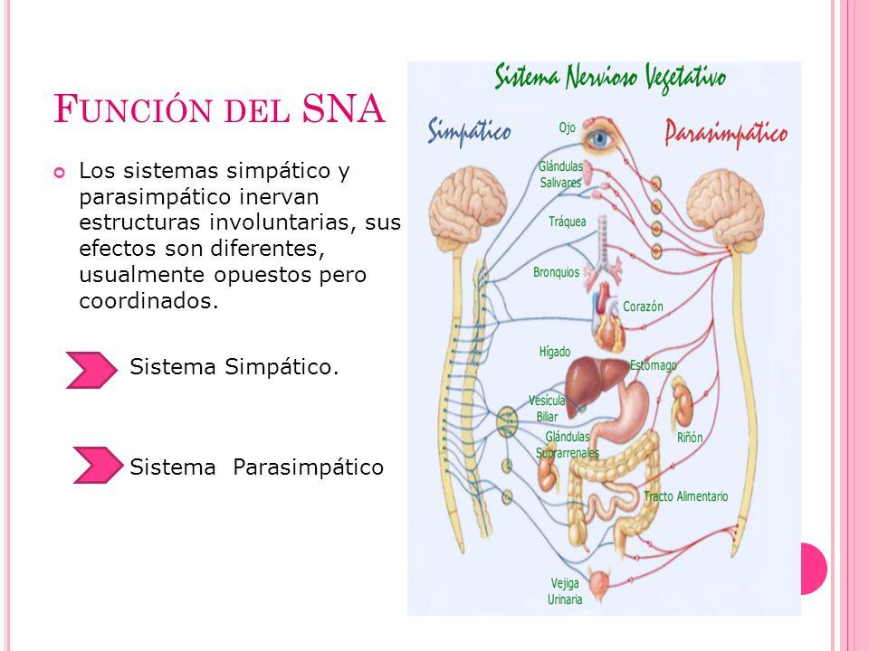 F UNCIÓN DEL SNA Los sistemas simpático y parasimpático inervan estructuras involuntarias, sus efectos son diferentes, usualmente opuestos pero coordi
