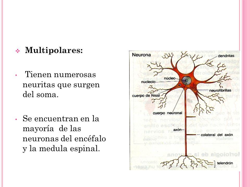 Multipolares: Tienen numerosas neuritas que surgen del soma. Se encuentran en la mayoría de las neuronas del encéfalo y la medula espinal.