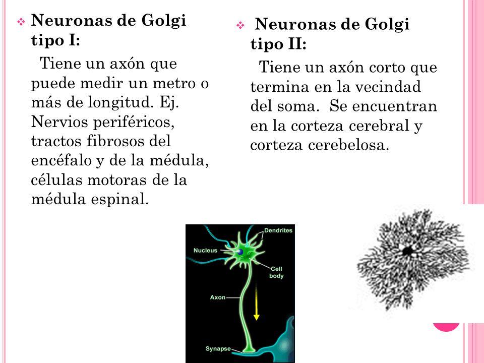 Neuronas de Golgi tipo I: Tiene un axón que puede medir un metro o más de longitud. Ej. Nervios periféricos, tractos fibrosos del encéfalo y de la méd
