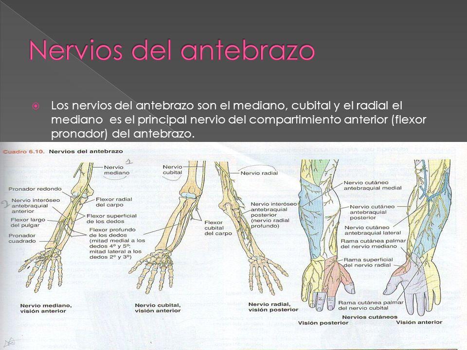 Los nervios del antebrazo son el mediano, cubital y el radial el mediano es el principal nervio del compartimiento anterior (flexor pronador) del ante