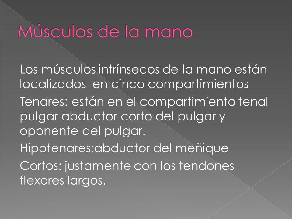 Los músculos intrínsecos de la mano están localizados en cinco compartimientos Tenares: están en el compartimiento tenal pulgar abductor corto del pul
