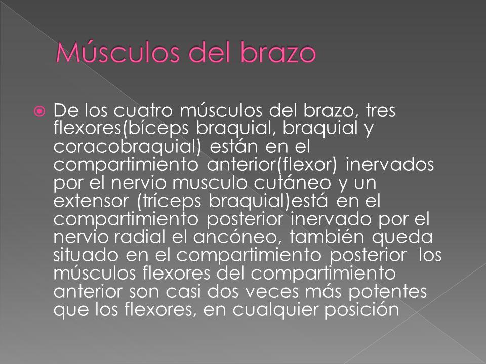 De los cuatro músculos del brazo, tres flexores(bíceps braquial, braquial y coracobraquial) están en el compartimiento anterior(flexor) inervados por