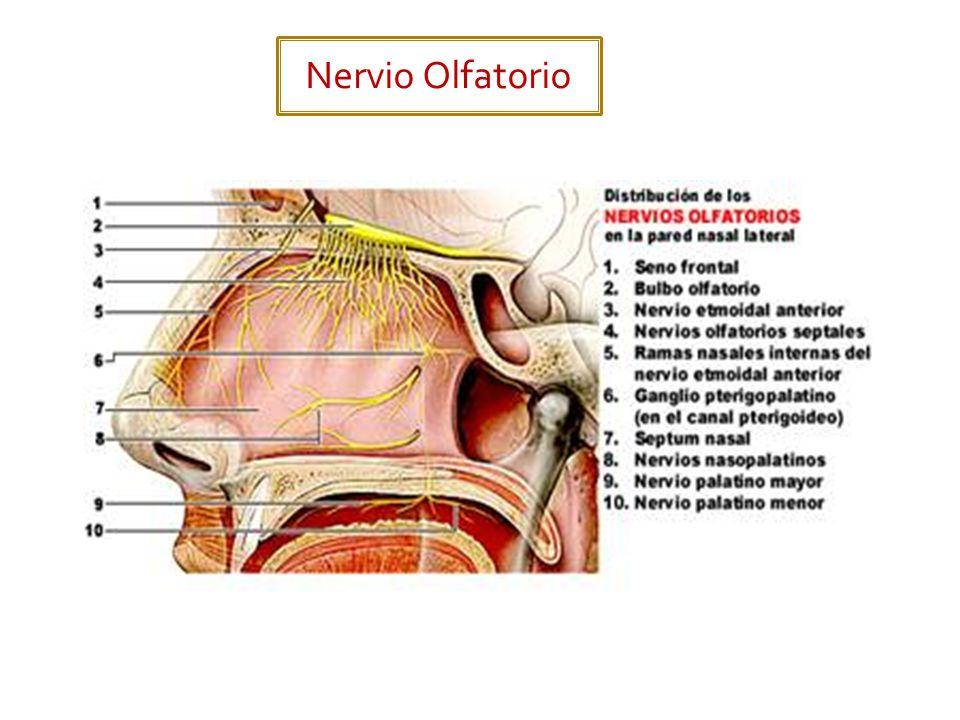 FunciónLocalización de los cuerpos neuronales Salida del cráneo Acción principal Sensitivo especial.