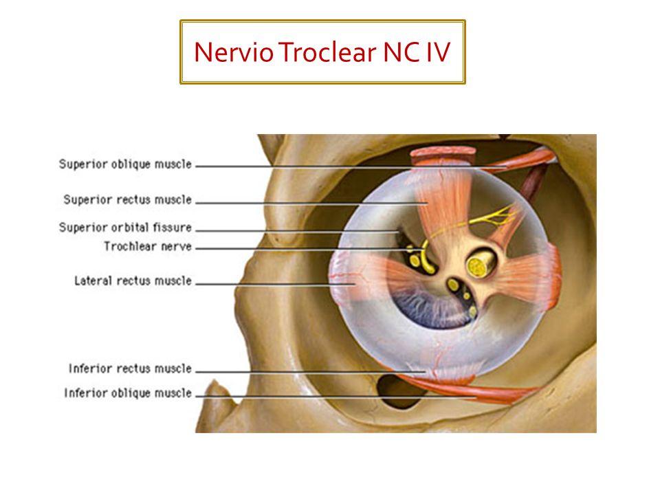 Se divide en 3 nervios conocidos como: Oftálmico (NC V 1 ) Maxilar (NC V 2 ) Mandibular (NC V 3 )