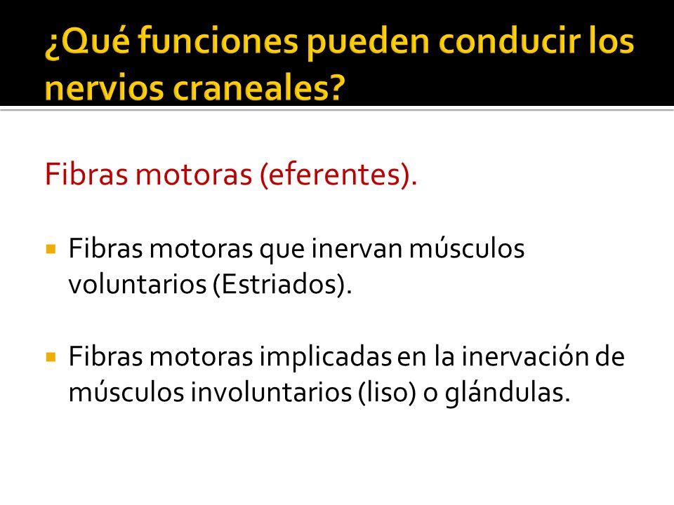 Fibras sensitivas (aferentes) Fibras que transmiten sensibilidad general.