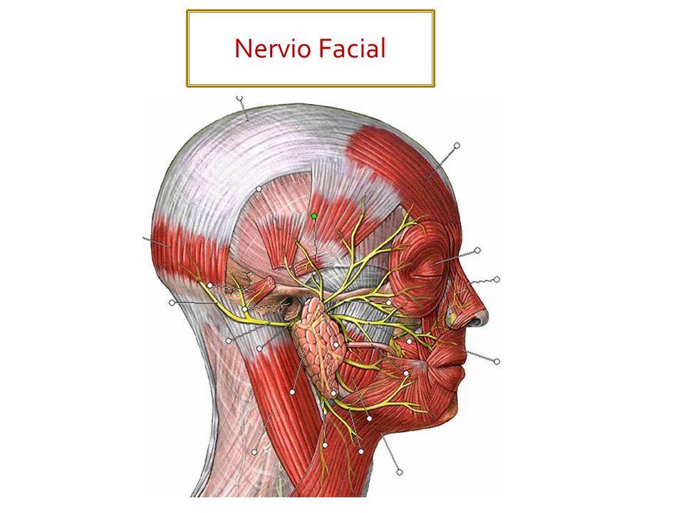 Se subdivide en 2 nervios: Nervio Vestibular. Nervio Coclear.