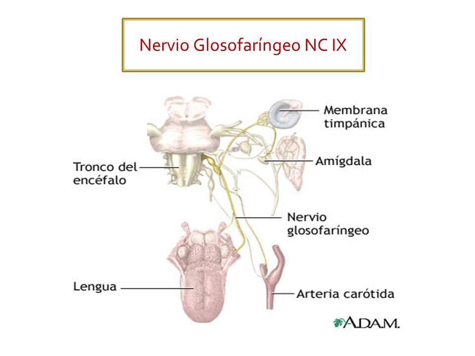 Al igual que el NC IX, el nervio Vago tiene las 5 funciones: Motor somático (Branquial) Motor visceral.