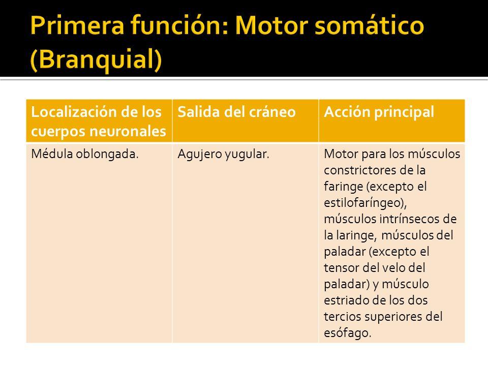 Localización de los cuerpos neuronales Salida del cráneoAcción principal Presinápticos: Médula oblongada.