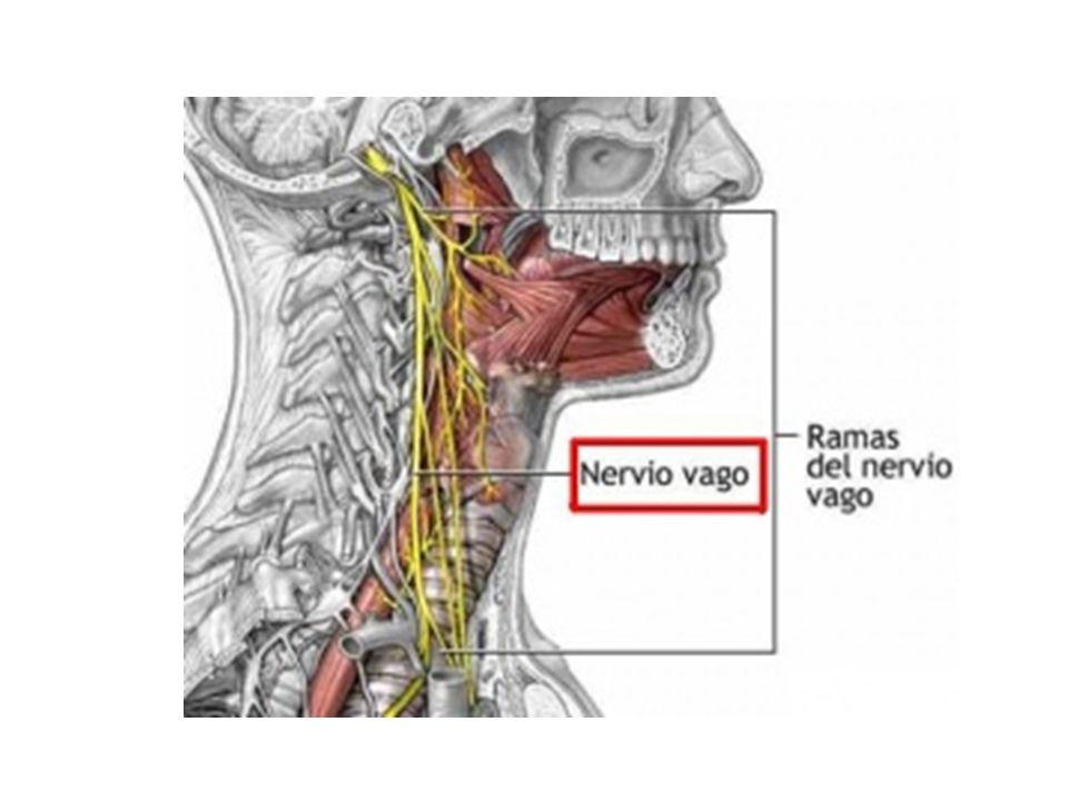 FunciónLocalización de los cuerpos neuronales Salida del cráneo Acción principal Motor somático.Medula espinal.Agujero yugular.Motor para el esternocleidomastoi deo y el trapecio.