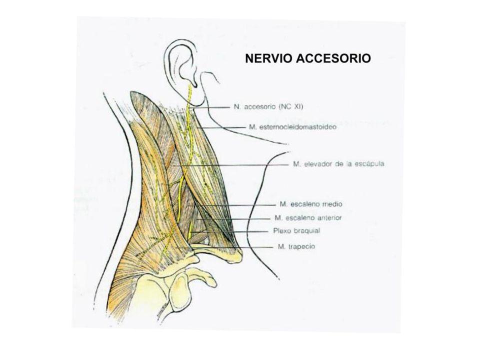 FunciónLocalización de los cuerpos neuronales Salida del cráneo Acción principal Motor somático.Médula oblongada.