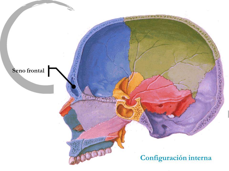 Configuración interna Seno frontal