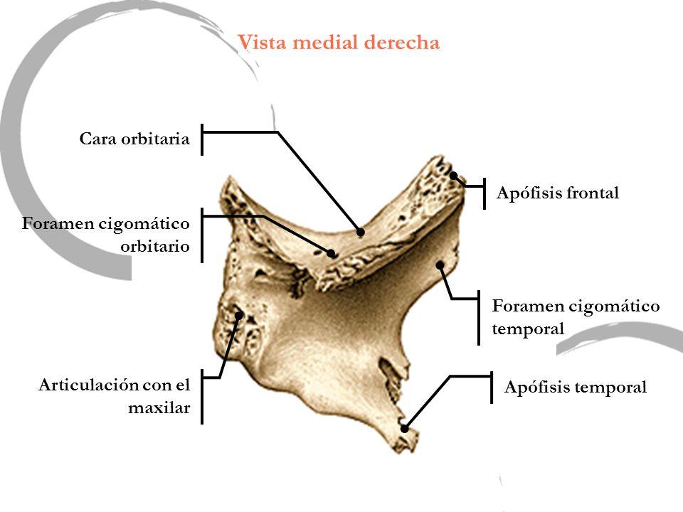 Vista medial derecha Apófisis frontal Apófisis temporal Foramen cigomático orbitario Foramen cigomático temporal Articulación con el maxilar Cara orbi