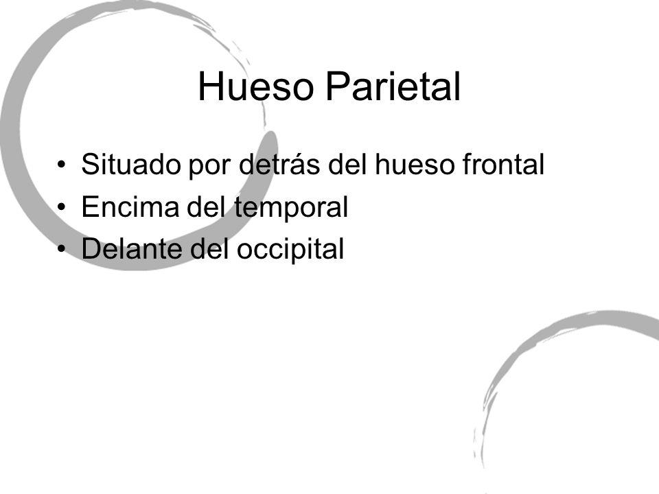 Hueso Parietal Situado por detrás del hueso frontal Encima del temporal Delante del occipital