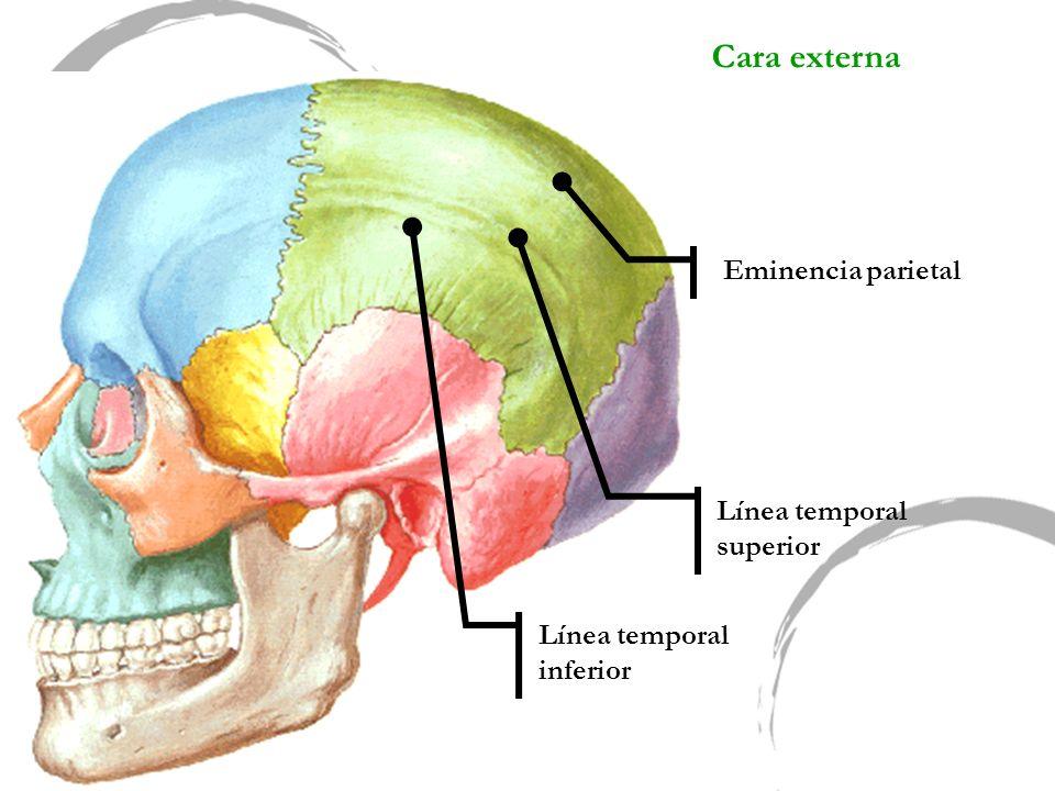 Cara externa Línea temporal superior Eminencia parietal Línea temporal inferior