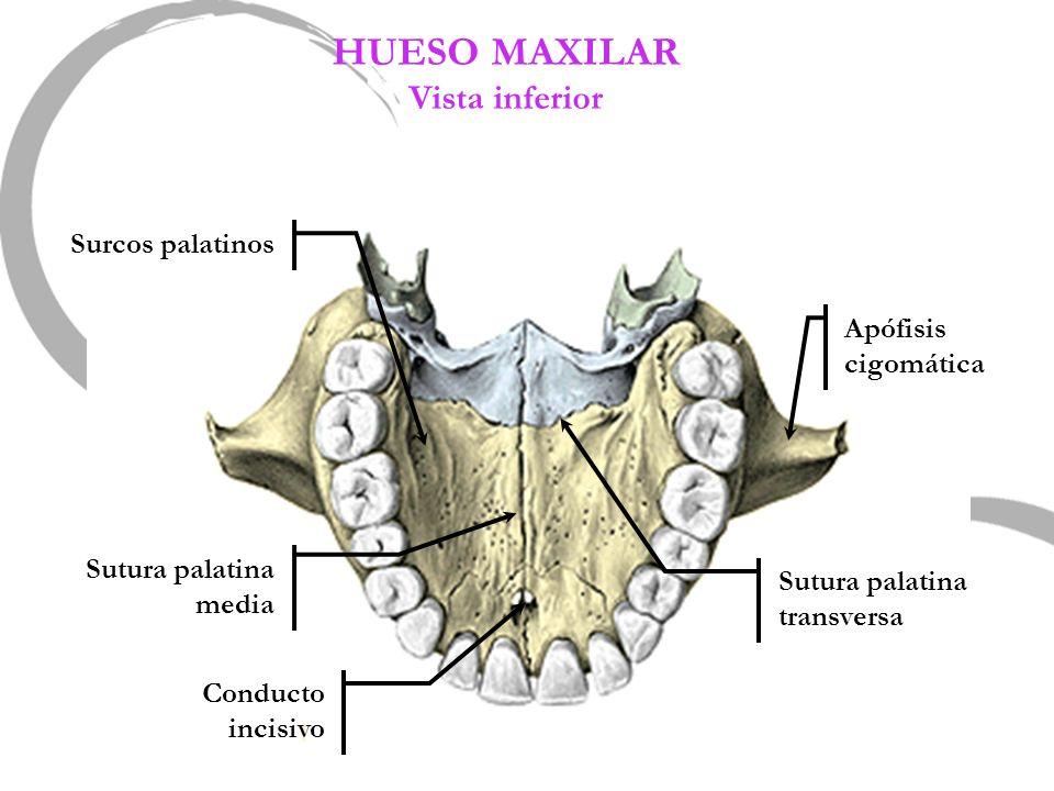 HUESO MAXILAR Vista inferior Conducto incisivo Sutura palatina media Apófisis cigomática Surcos palatinos Sutura palatina transversa