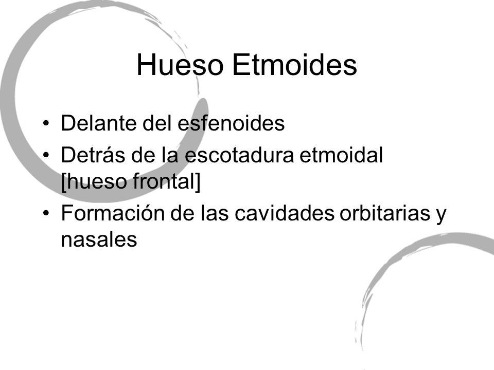 Delante del esfenoides Detrás de la escotadura etmoidal [hueso frontal] Formación de las cavidades orbitarias y nasales