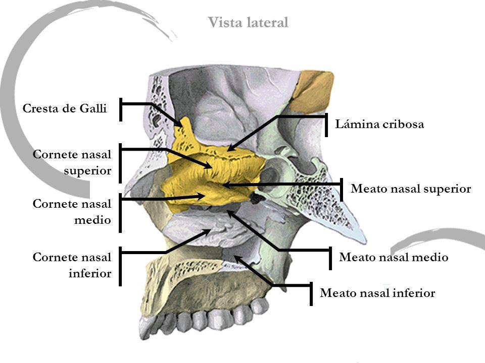Vista lateral Meato nasal superior Meato nasal medio Lámina cribosa Cresta de Galli Meato nasal inferior Cornete nasal superior Cornete nasal medio Co