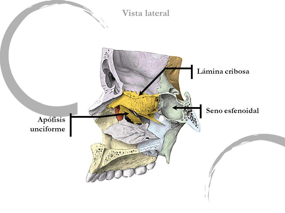 Seno esfenoidal Lámina cribosa Apófisis unciforme Vista lateral
