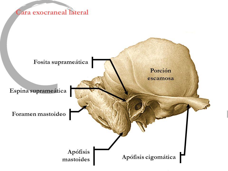 Cara exocraneal lateral Apófisis mastoides Foramen mastoideo Espina suprameática Fosita suprameática Porción escamosa Apófisis cigomática