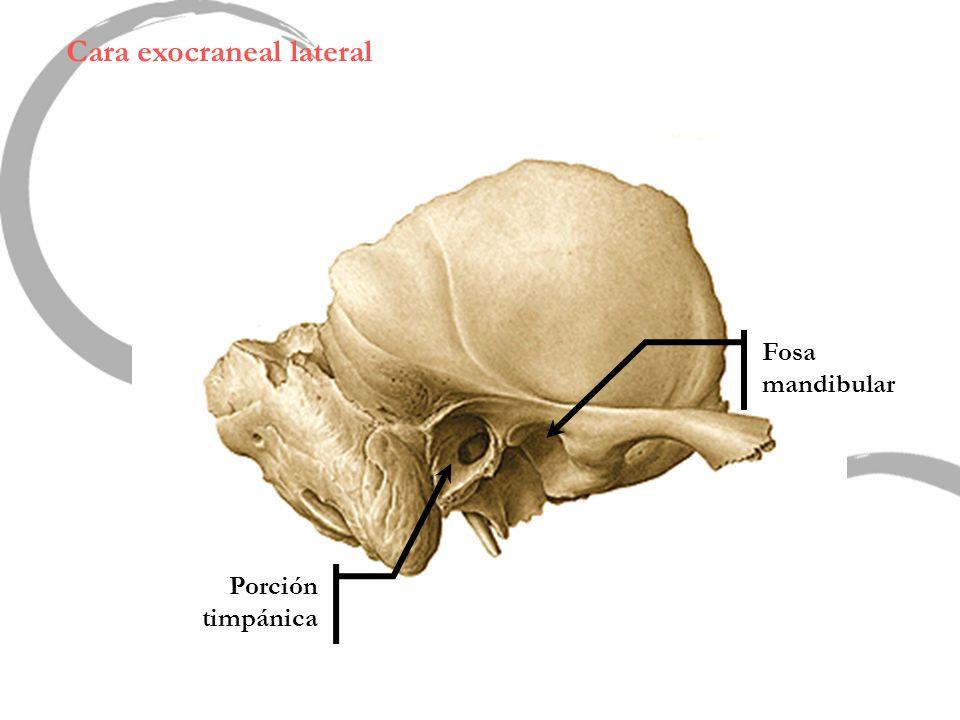 Cara exocraneal lateral Porción timpánica Fosa mandibular