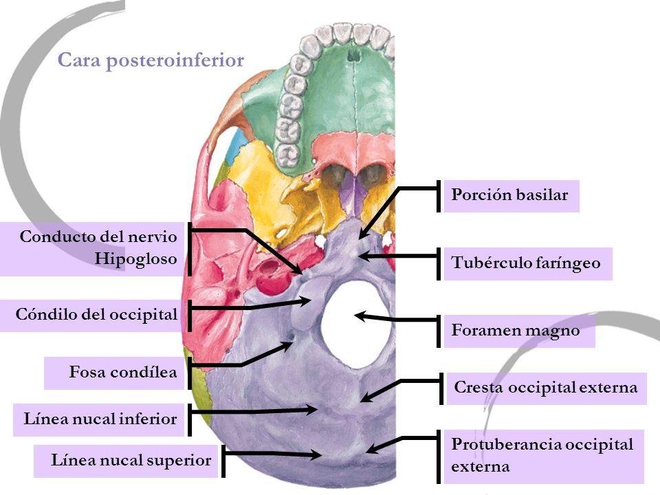 Cara posteroinferior Foramen magno Porción basilar Tubérculo faríngeo Cresta occipital externa Protuberancia occipital externa Línea nucal inferior Lí