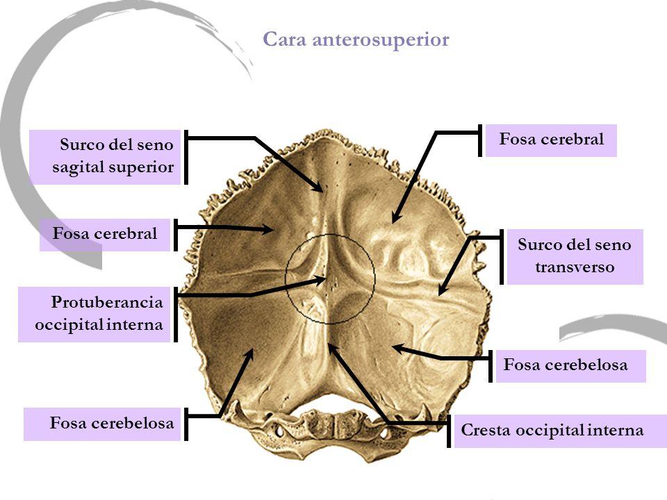 Cara anterosuperior Fosa cerebelosa Fosa cerebral Fosa cerebelosa Surco del seno sagital superior Fosa cerebral Protuberancia occipital interna Surco