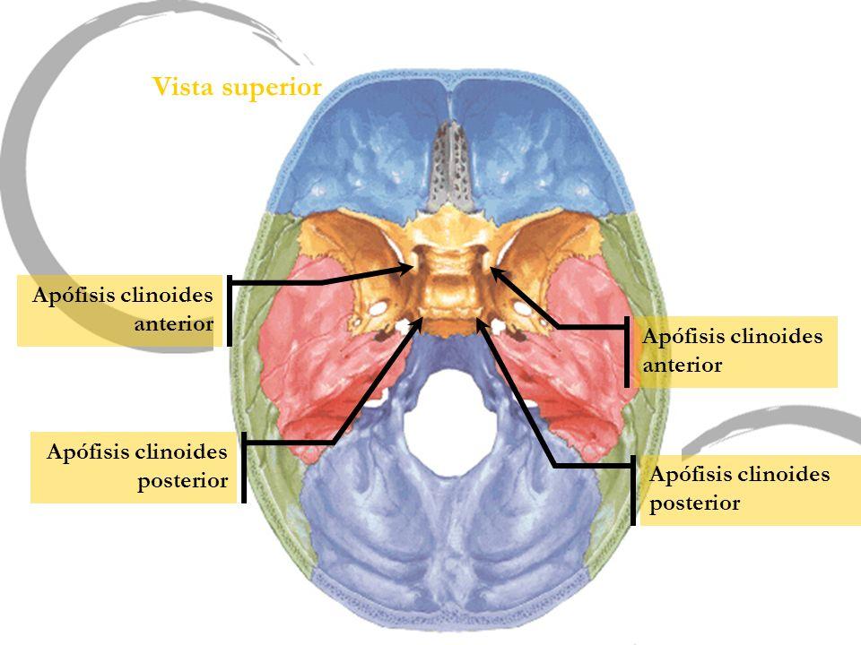 Vista superior Apófisis clinoides anterior Apófisis clinoides posterior