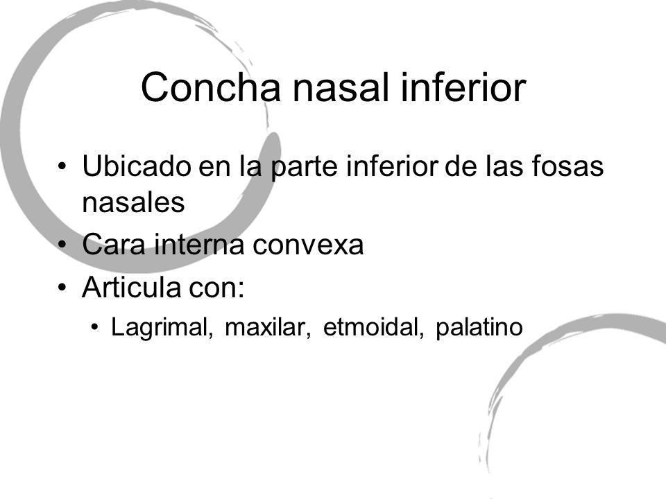 Concha nasal inferior Ubicado en la parte inferior de las fosas nasales Cara interna convexa Articula con: Lagrimal, maxilar, etmoidal, palatino