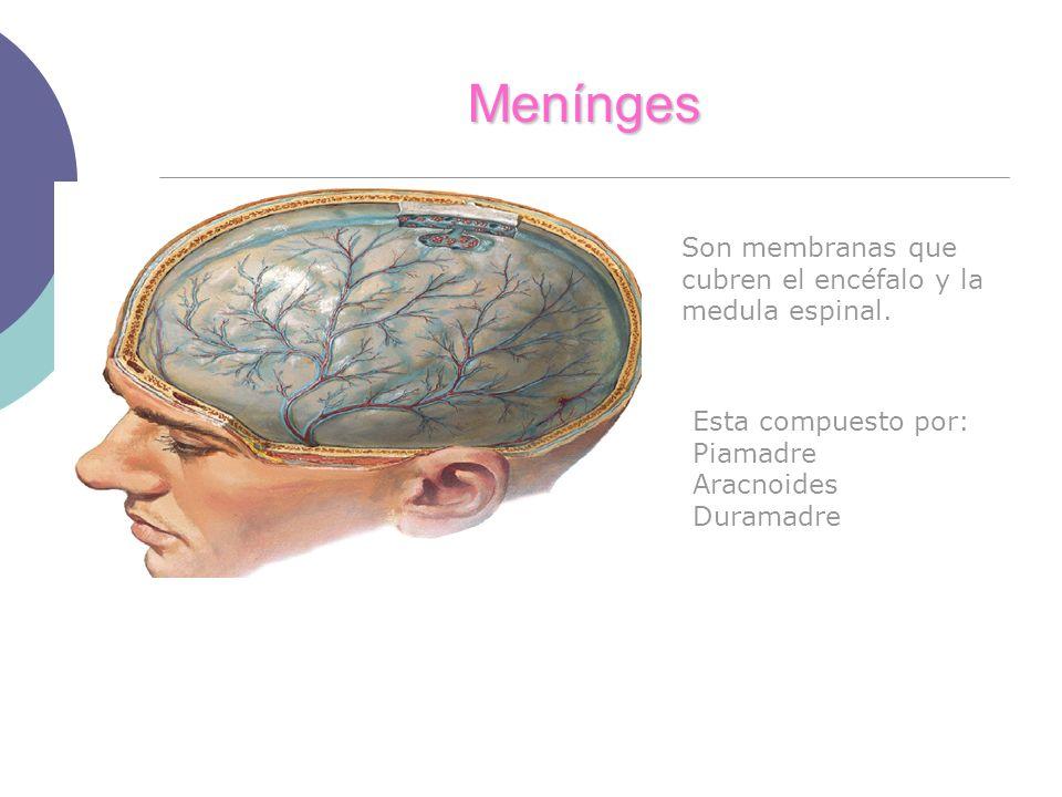 Menínges Esta compuesto por: Piamadre Aracnoides Duramadre Son membranas que cubren el encéfalo y la medula espinal.