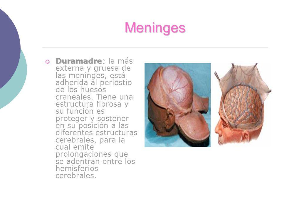 Meninges Duramadre: Duramadre: la más externa y gruesa de las meninges, está adherida al periostio de los huesos craneales. Tiene una estructura fibro