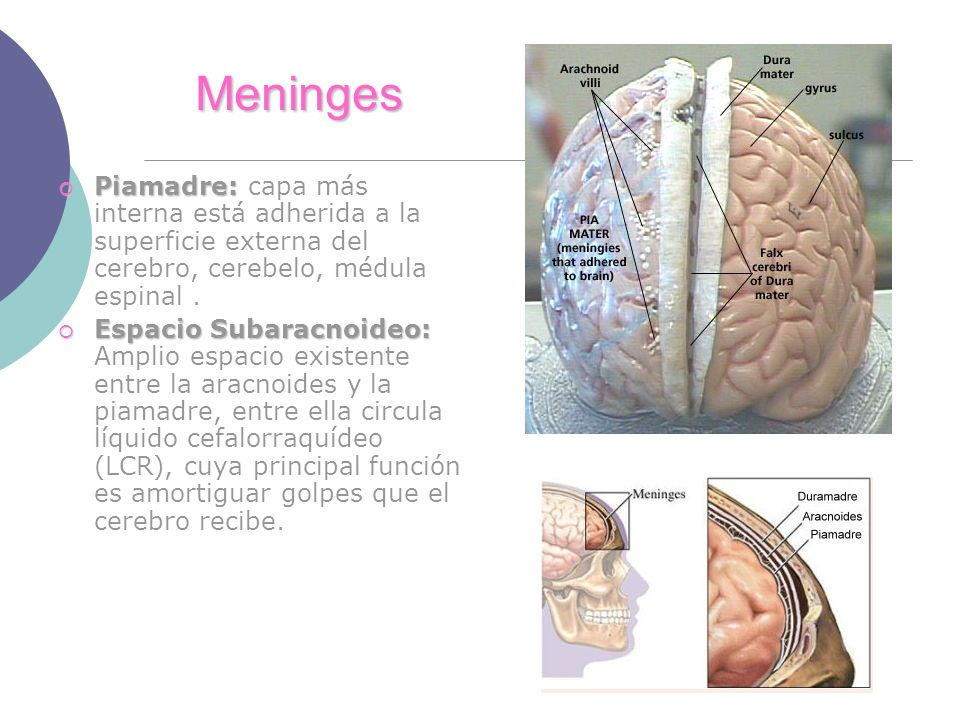 Meninges Piamadre: Piamadre: capa más interna está adherida a la superficie externa del cerebro, cerebelo, médula espinal. Espacio Subaracnoideo: Espa