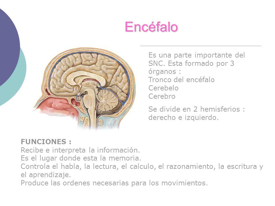 Encéfalo Es una parte importante del SNC. Esta formado por 3 órganos : Tronco del encéfalo Cerebelo Cerebro Se divide en 2 hemisferios : derecho e izq