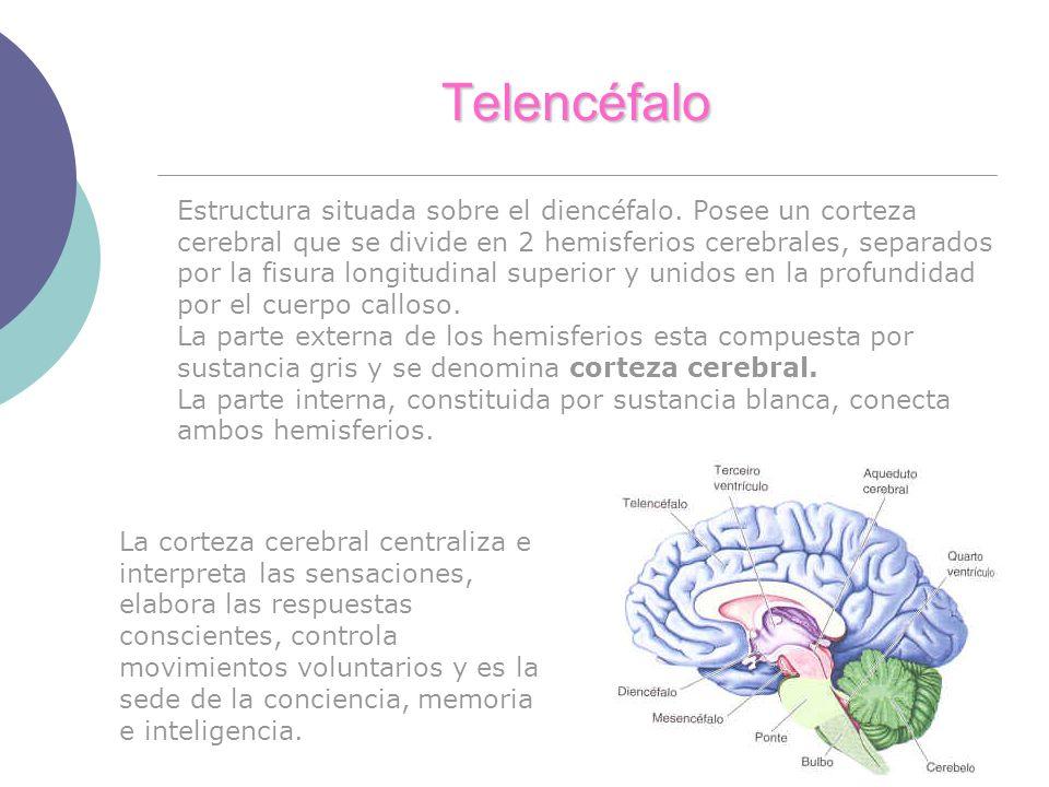 Telencéfalo Estructura situada sobre el diencéfalo. Posee un corteza cerebral que se divide en 2 hemisferios cerebrales, separados por la fisura longi
