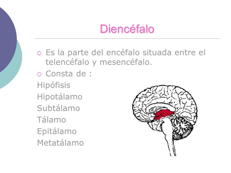 Diencéfalo Es la parte del encéfalo situada entre el telencéfalo y mesencéfalo. Consta de : Hipófisis Hipotálamo Subtálamo Tálamo Epitálamo Metatálamo