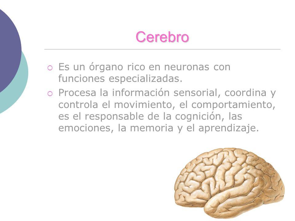 Cerebro Es un órgano rico en neuronas con funciones especializadas. Procesa la información sensorial, coordina y controla el movimiento, el comportami