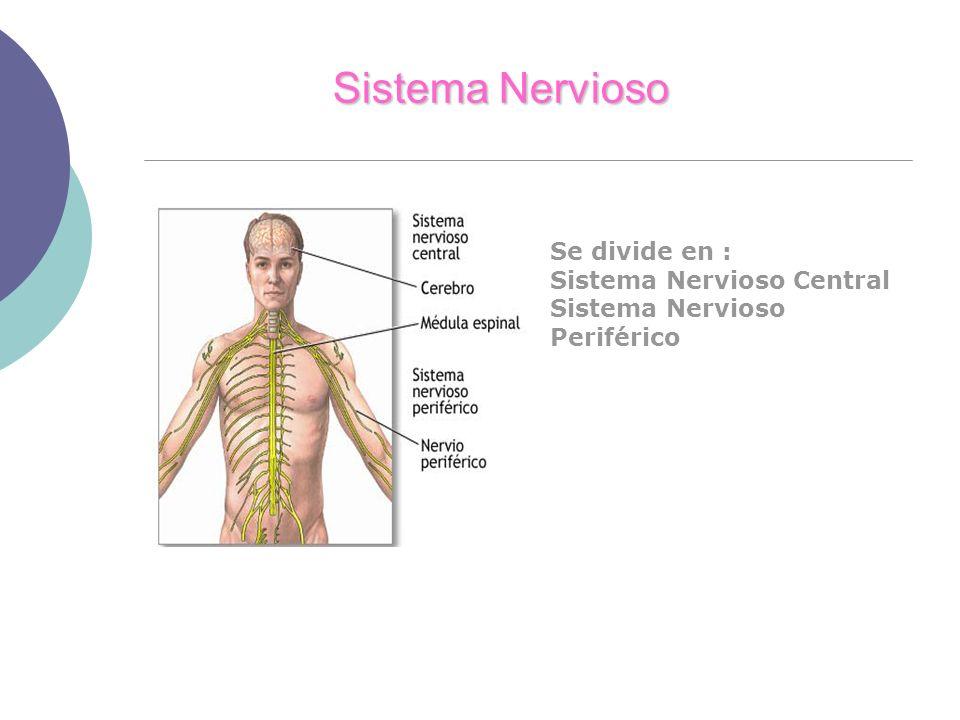 Sistema Nervioso Se divide en : Sistema Nervioso Central Sistema Nervioso Periférico