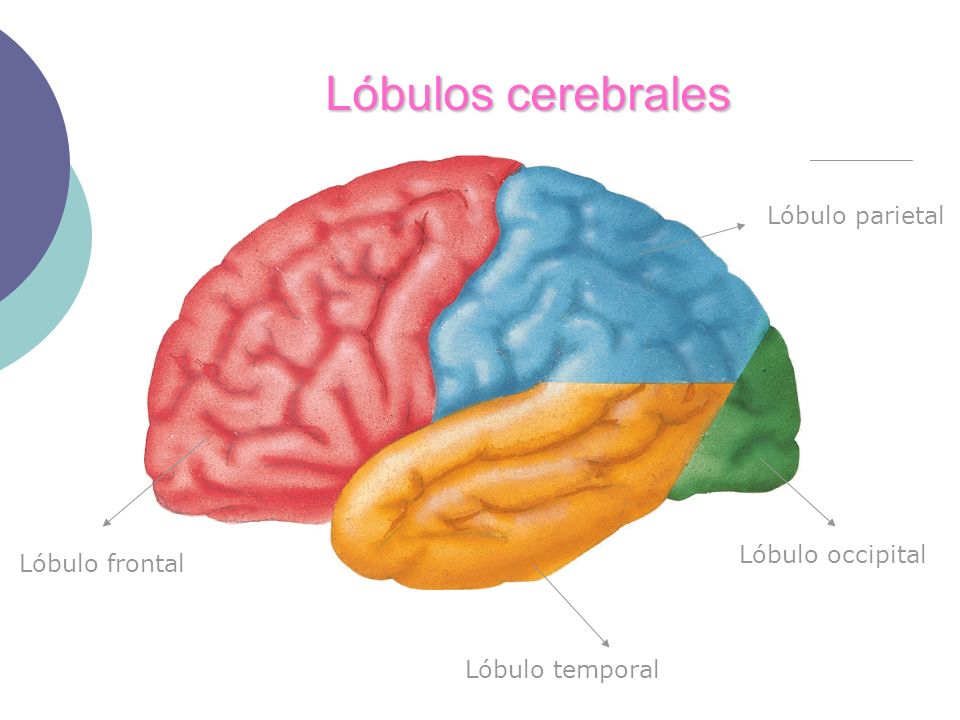 Lóbulos cerebrales Lóbulo parietal Lóbulo occipital Lóbulo temporal Lóbulo frontal