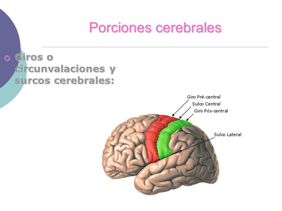 Porciones cerebrales Giros o circunvalaciones y surcos cerebrales: Giros o circunvalaciones y surcos cerebrales: